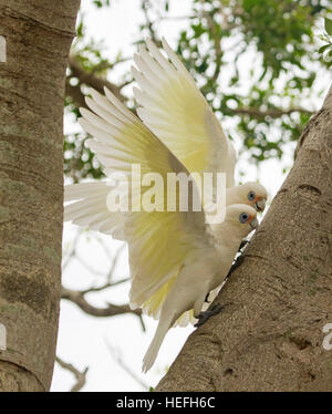 Pair of Australian little corellas,white cockatoos, Cacatua sanguinea with wings outstretched ready for flight in - Stock Photo