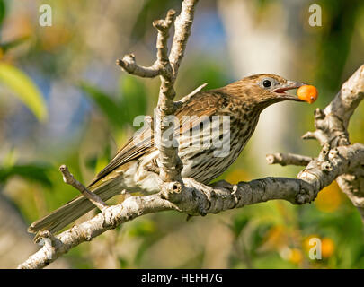 Attractive female Australian figbird Sphecotheres vieilloti on branch of fig tree with orange fruit in bill against - Stock Photo