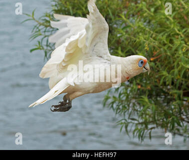 Australian long-billed corella, Cacatua tenuirostris unusual white cockatoo with splashes of red on plumage, in - Stock Photo