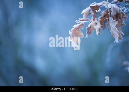 Beautiful frozen tree branch with  dead leaves and ice crystals. Close up of withered tree twig in winter. - Stock Photo