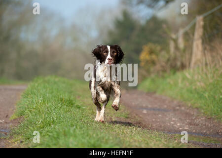 Springer spaniel running toward the camera whilst in the countryside. - Stock Photo
