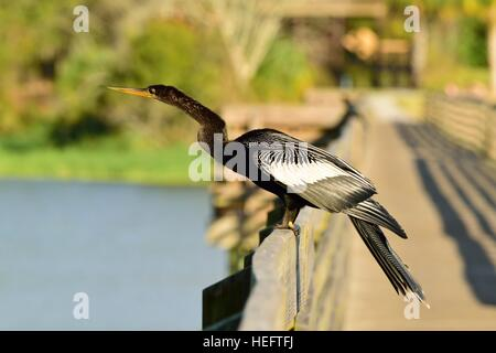 Anhinga bird also known as a water turkey, snake bird and devil bird on a boardwalk at a State Park near Tampa Bay, - Stock Photo