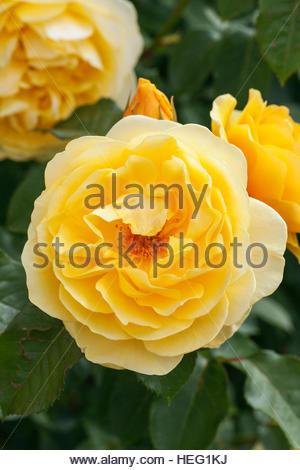Rosa graham thomas a yellow david austin rose stock photo royalty rosa graham thomas ausmas agm david austin rose stock photo altavistaventures Choice Image