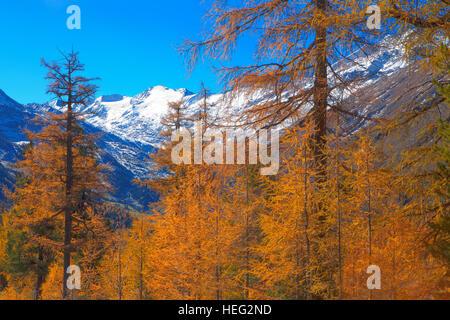 Austria, Tyrol, Ötztal, larch wood in Obergurgl (village) - Stock Photo