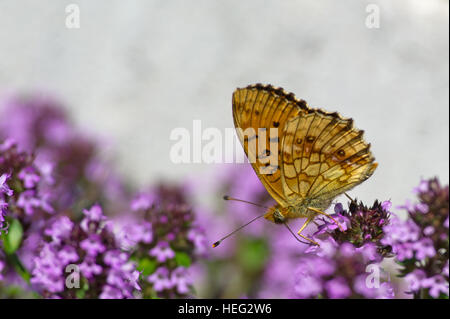 The beautiful Lesser Marbled Fritillary Butterfly (Brenthis ino) on flowering Lemon thyme with a gray defocused - Stock Photo