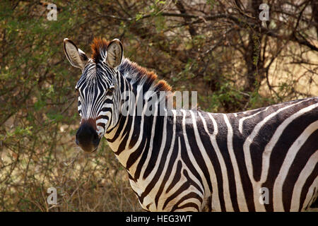 Plains zebra (Equus quagga), Lake Manyara National Park, Tanzania - Stock Photo