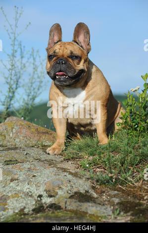 French Bulldog, sitting on a rock, Germany - Stock Photo