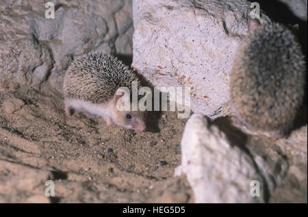 Long-eared hedgehog. Hemiechinus auritus. Kuwait desert. Kuwait - Stock Photo