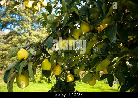 DEU, Germany, quinces (lat. Cydonia oblonga).