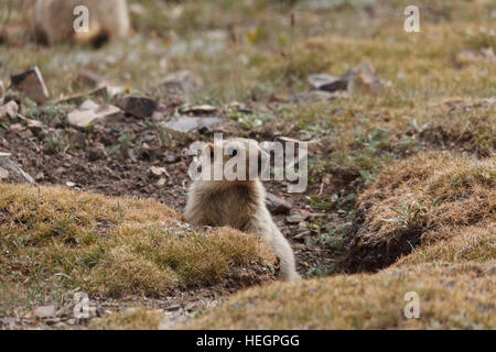 Young Himalayan marmot near its den, Tibetan plateau, Qinghai province, China - Stock Photo