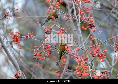 Chaffinches sitting on the branches of a Rowan tree and eats the berries - Stock Photo