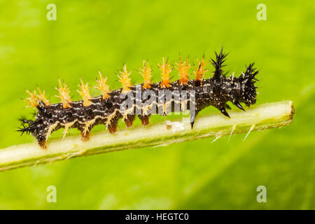 A Question Mark Butterfly (Polygonia interrogationis) caterpillar (larva) perches on a Stinging Nettle plant stem. - Stock Photo