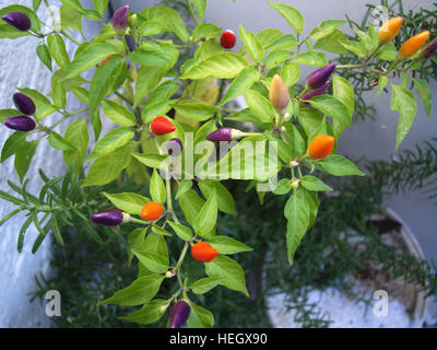 Chili plant with chilies of varying degrees of ripeness - Stock Photo