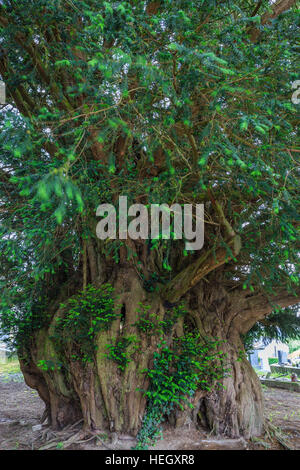 Yew millennium, Taxus baccata, France, Calvados, Estry - Stock Photo