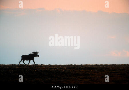Bull moose on Arctic Tundra, Alaska - Stock Photo