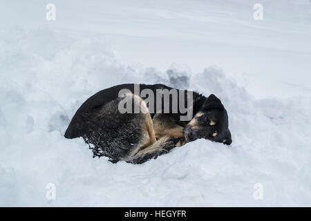 Dog sleeping on snow in a park. Cold winter. - Stock Photo