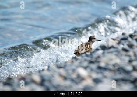 Curlew on the shore of the lake on a background of water, Baikal, Russia - Stock Photo