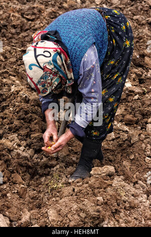 old woman seeds corns using her hands in the field.Because of increase in migration  to big cities villages have - Stock Photo
