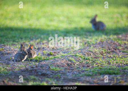 European Rabbit (Oryctolagus cuniculus). Three weaned young, relaxed sitting outside nest burrow at the edge of - Stock Photo