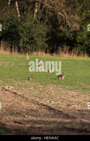 European Rabbit (Oryctolagus cuniculus). Alerted to possible danger whilst grazing on cereal crop.Note over grazing - Stock Photo