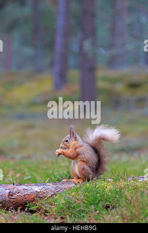 Red Squirrel eating in winter - Stock Photo
