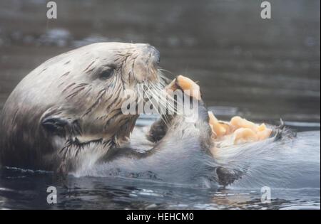 At Monterey Bay Aquarium,California,U.S.A.,United States of America, - Stock Photo