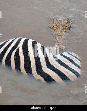 Crocodile about to start eating a zebra floating in a river - Stock Photo
