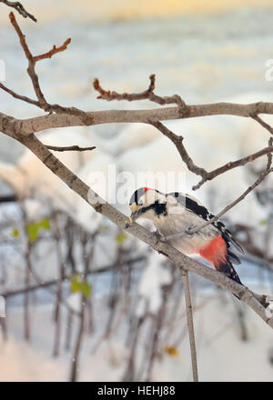 Male great spotted woodpecker and stuck in brunch tree - Stock Photo
