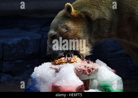 Singapore. 22nd Dec, 2016. Polar bear Inuka eats a fish cake during its birthday party at the Singapore Zoo, Dec. - Stock Photo