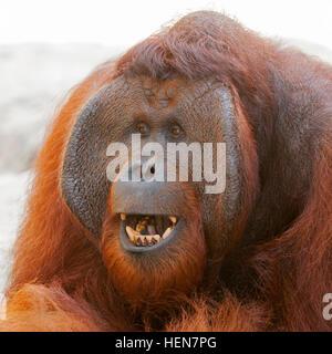Bornean Orangutan (Pongo pygmaeus) mature male threat display - Stock Photo