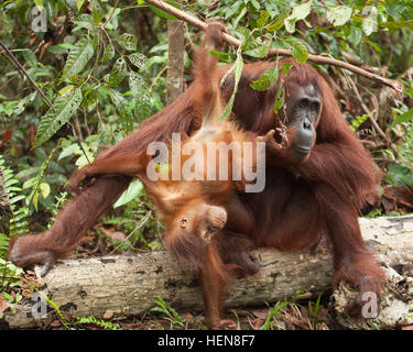 Wild Bornean Orangutan (Pongo pygmaeus) baby hanging from tree branch and playing with mother - Stock Photo