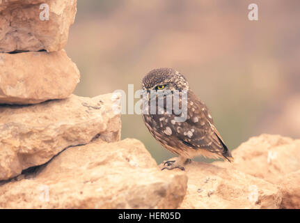 Little owl (Athene noctua) perched on dry stone wall, Morocco - Stock Photo
