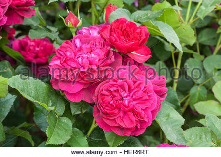 rosa 39 darcey bussell 39 david austin roses stock photo. Black Bedroom Furniture Sets. Home Design Ideas