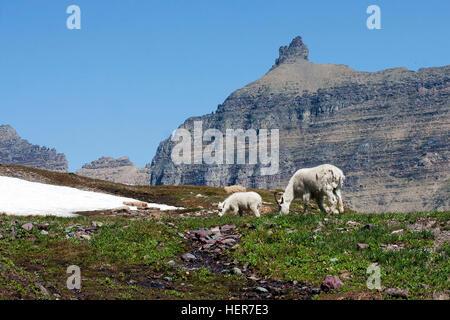 Rocky Mountain Doe and Lamb - Stock Photo