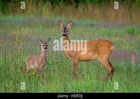 European roe deer (Capreolus capreolus) female with fawn in grassland at forest's edge in summer - Stock Photo