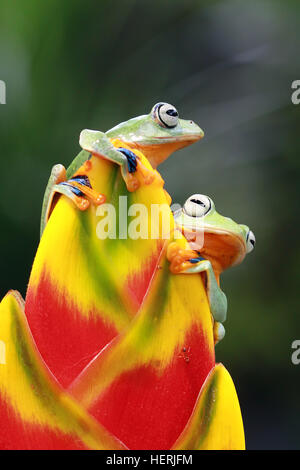Two Javan tree frogs sitting on flower, Indonesia - Stock Photo