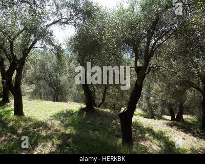 An olive grove near Karousades, Corfu, Greece - Stock Photo