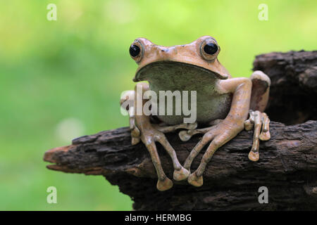 Close-up portrait of an Eared frog, Indonesia - Stock Photo