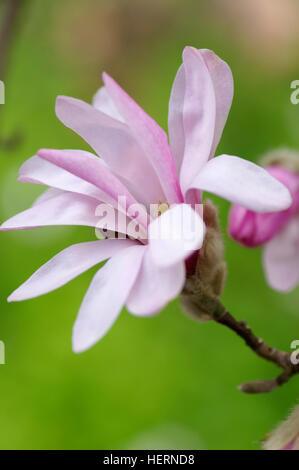 Magnolia loebneri Leonard Messel flower portrait - Stock Photo