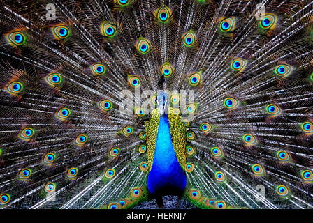 Portrait of a peacock bird - Stock Photo