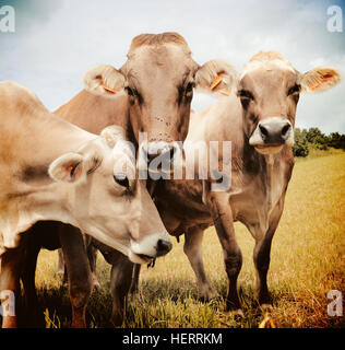 Three Aubrac cows in the meadow - Stock Photo