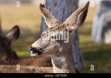 Closeup of one Mule Deer in woods - Stock Photo