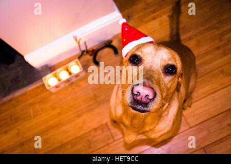 a red fox labrador wearing a festive christmas hat - Stock Photo
