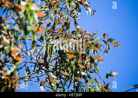 Monarch butterflies (Danaus plexippus)   wintering in the eucalyptus trees at Monarch Butterfly Grove Pismo beach - Stock Photo