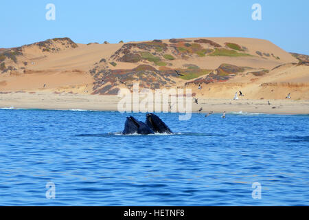 Two Humpback Whale mouths  in Pacific Ocean at Whalewatching tour in Monterey, California - Stock Photo