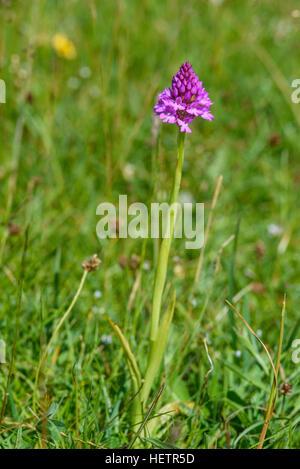 Pyramidal Orchid, Anacamptis pyramidalis, wildflower, Carrick, Dumfries & Galloway, Scotland - Stock Photo