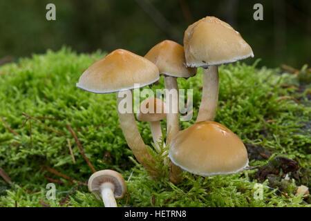 Rauchblättriger Schwefelkopf, Graublättriger Schwefelkopf, Milder Schwefelkopf, Hypholoma capnoides, Conifer Tuft - Stock Photo
