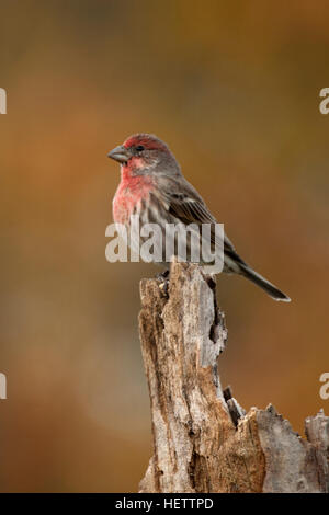 House finch perches on weathered stump - Stock Photo