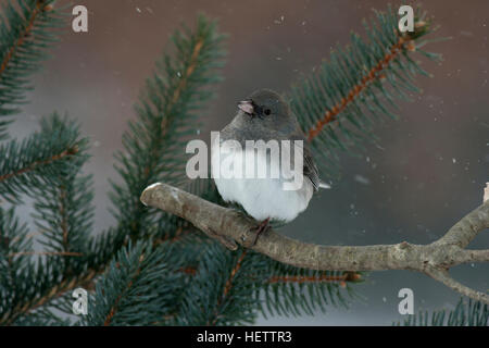 Dark eyed junco perches on branch in pine tree - Stock Photo