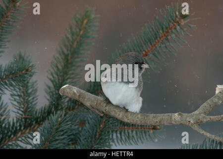 Dark eyed junco perches on branch near pine tree on snowy day - Stock Photo